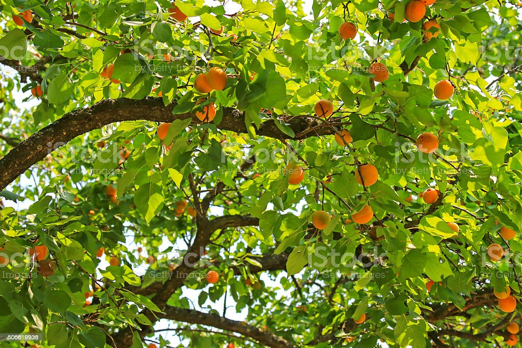 Apricot tree bearings many fruit during summer in Carinthia, Austria stock photo