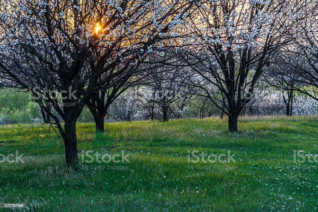 apricot tree blooms sunset landscape stock photo