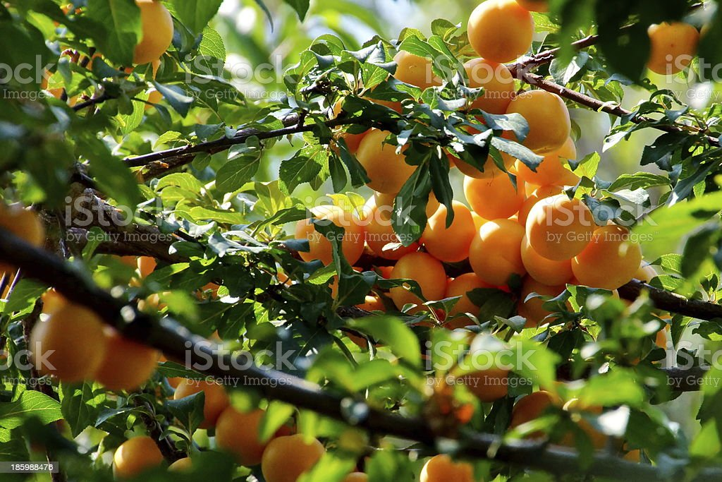 Apricot  tree branch and Fruits. stock photo