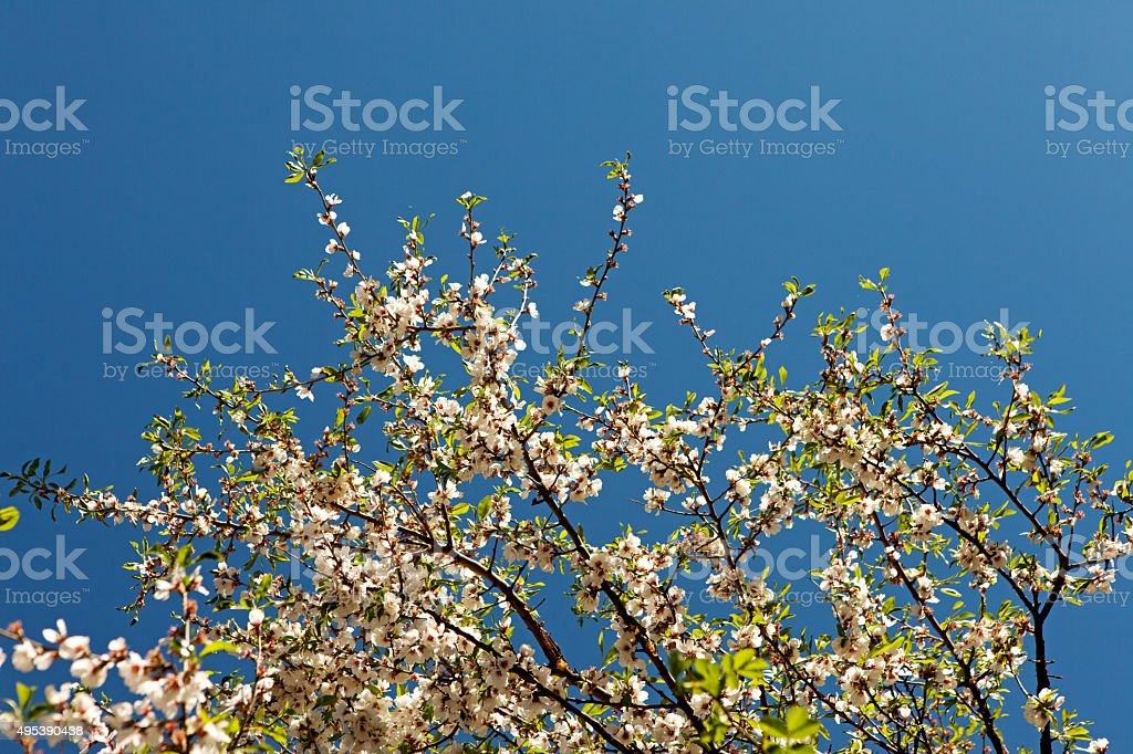 Apricot Tree flower blooming on blue sky background stock photo