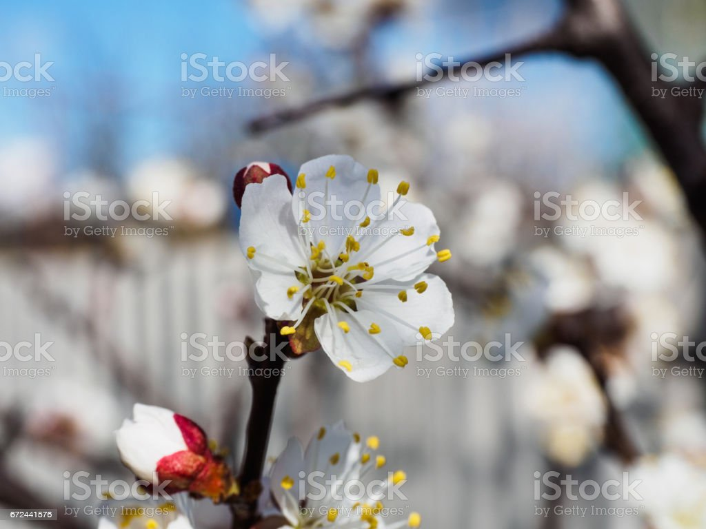 Apricot Tree Flowers With Soft Focus Spring White Flowers On A Tree