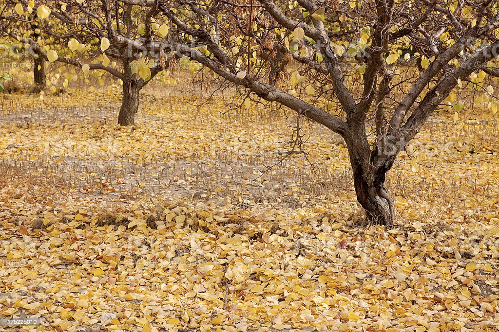 Apricot tree in autumn stock photo