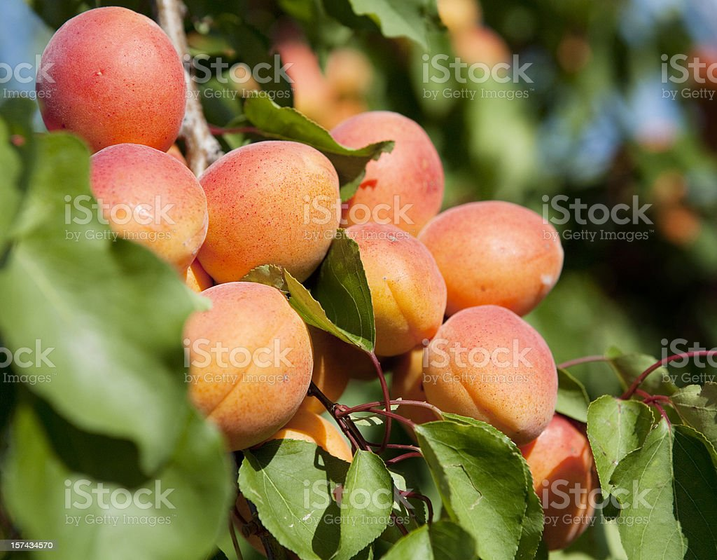 Apricot Tree in Provence stock photo