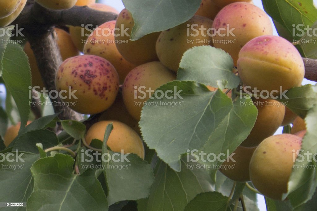 Apricot tree. royalty-free stock photo