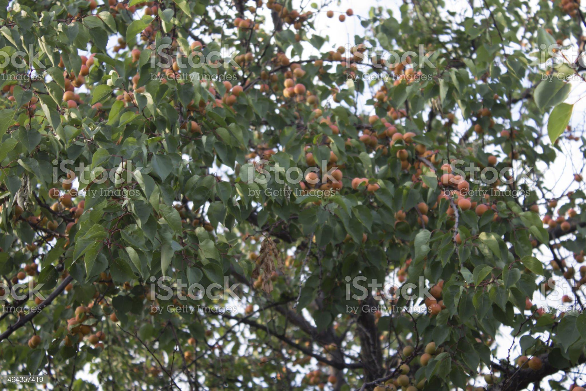 Apricot tree. royalty-free stock photo