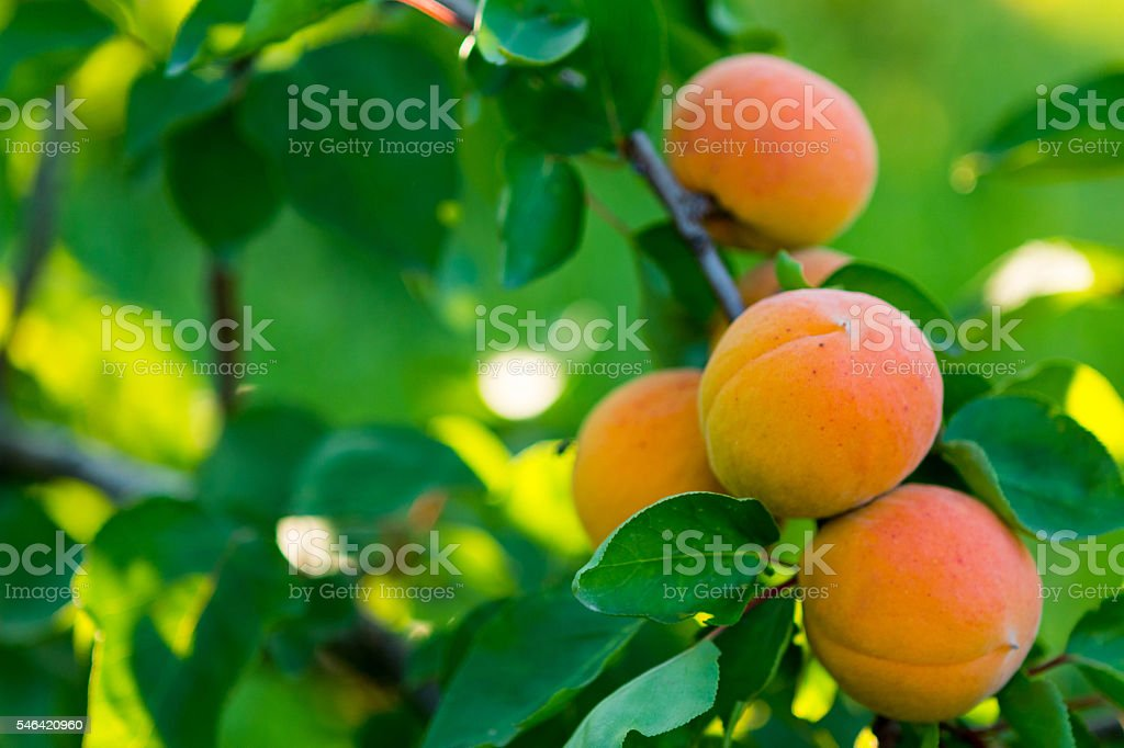 Apricot Tree with Fruit stock photo