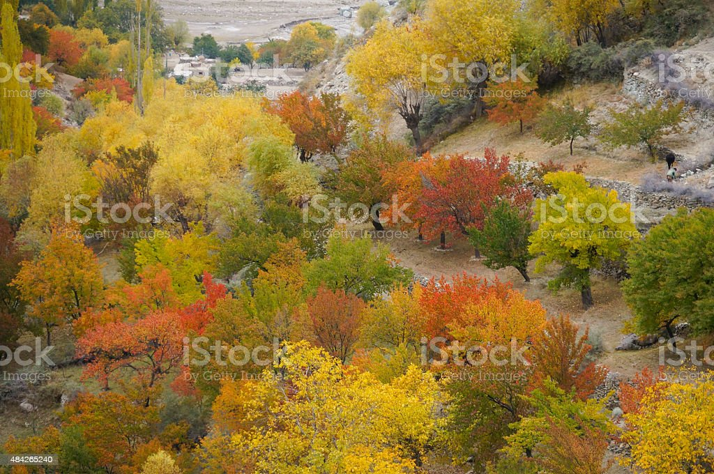 Apricot trees in Hoper Valley,Northern Pakistan stock photo