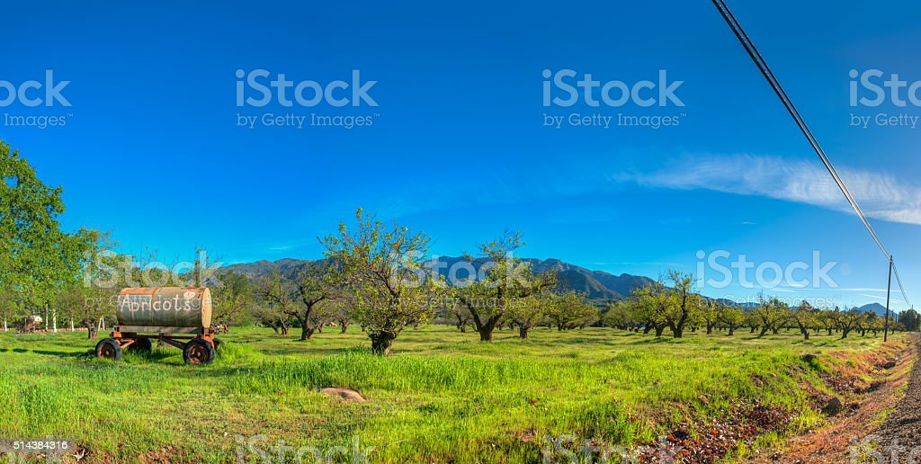 Apricot trees in the orchard stock photo