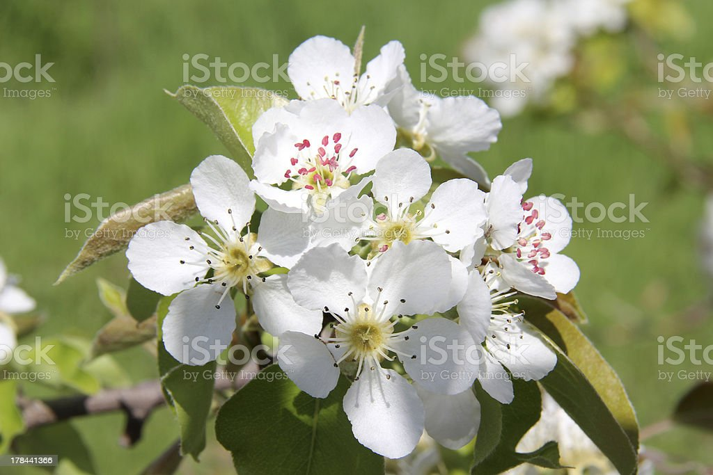Apricot white flowers on green stock photo