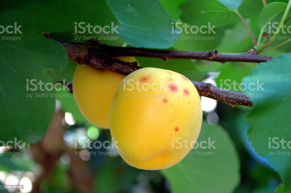 Apricots, Albicocche mature su ramo stock photo