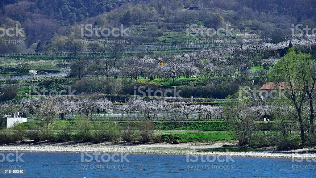 Apricots blooming at easter holiday (Wachau/ Lower Austria /Danube) stock photo