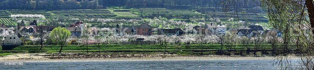 Apricots blooming at easter time in Lower austria stock photo