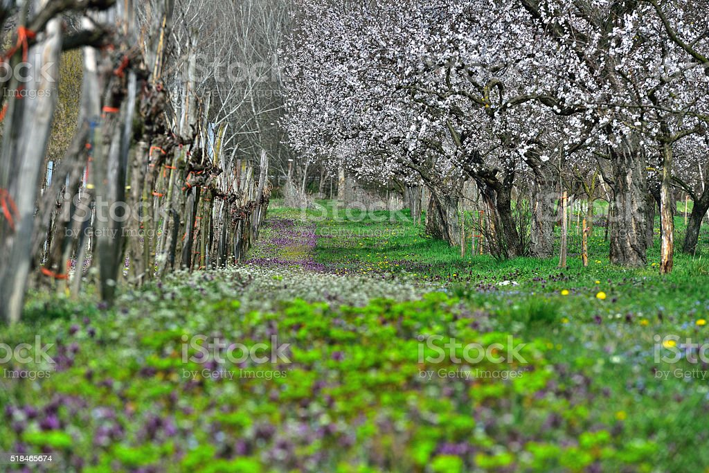 Apricots blooming in April in Austria stock photo