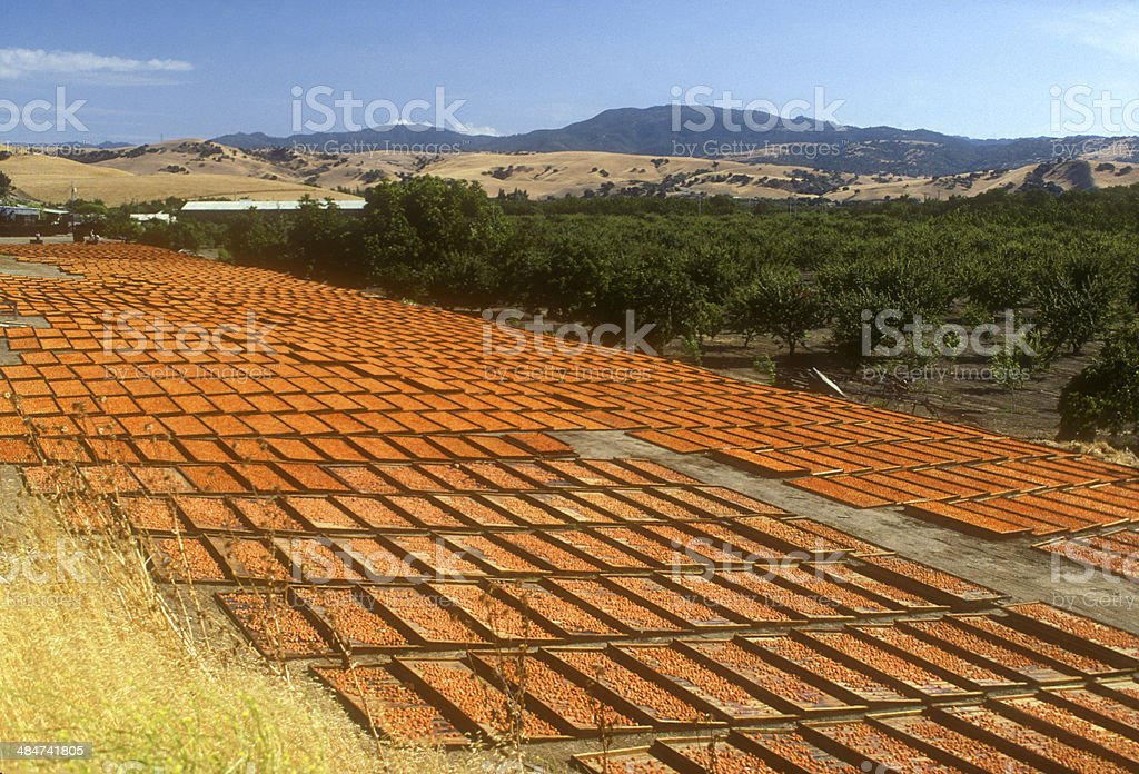 Apricots Drying and Curing in the Sun i stock photo
