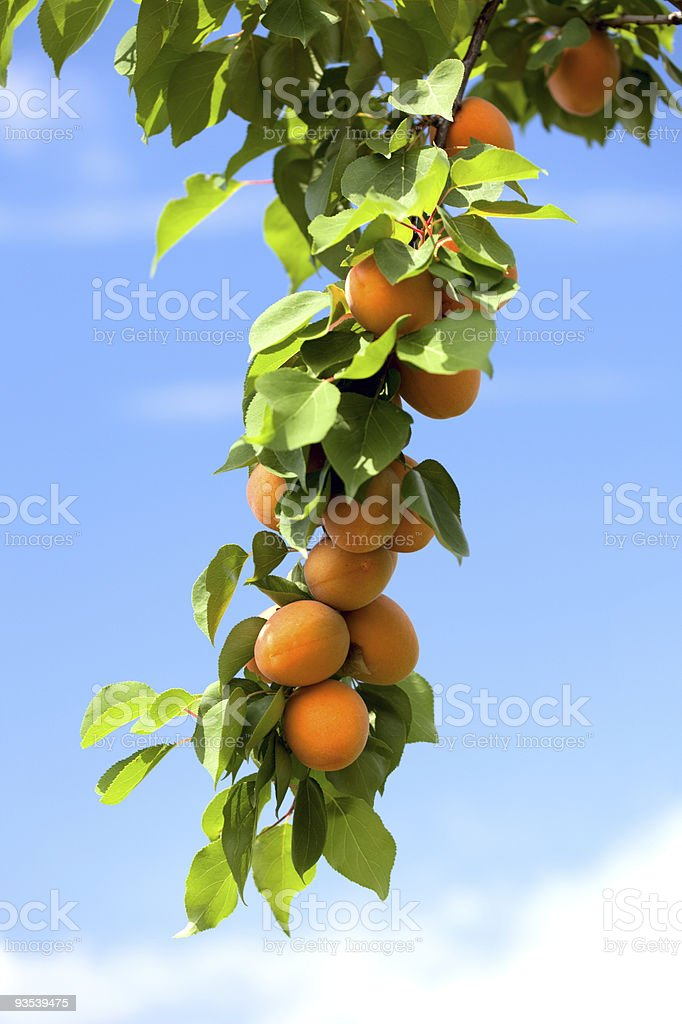 Apricots growing on an apricot tree. stock photo