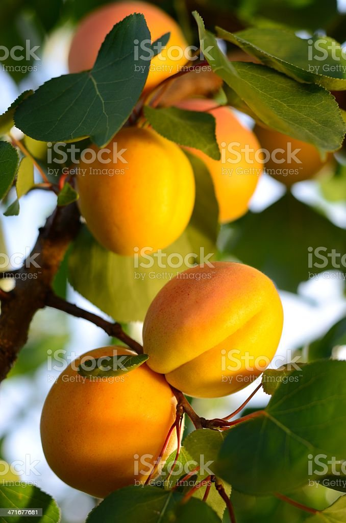 Apricots in a apricot tree stock photo