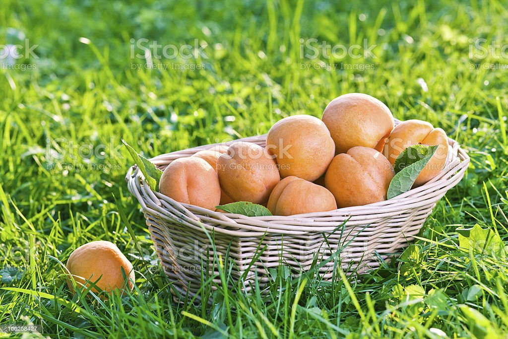 apricots in basket royalty-free stock photo