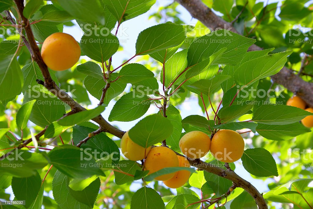 Apricots on a branch royalty-free stock photo
