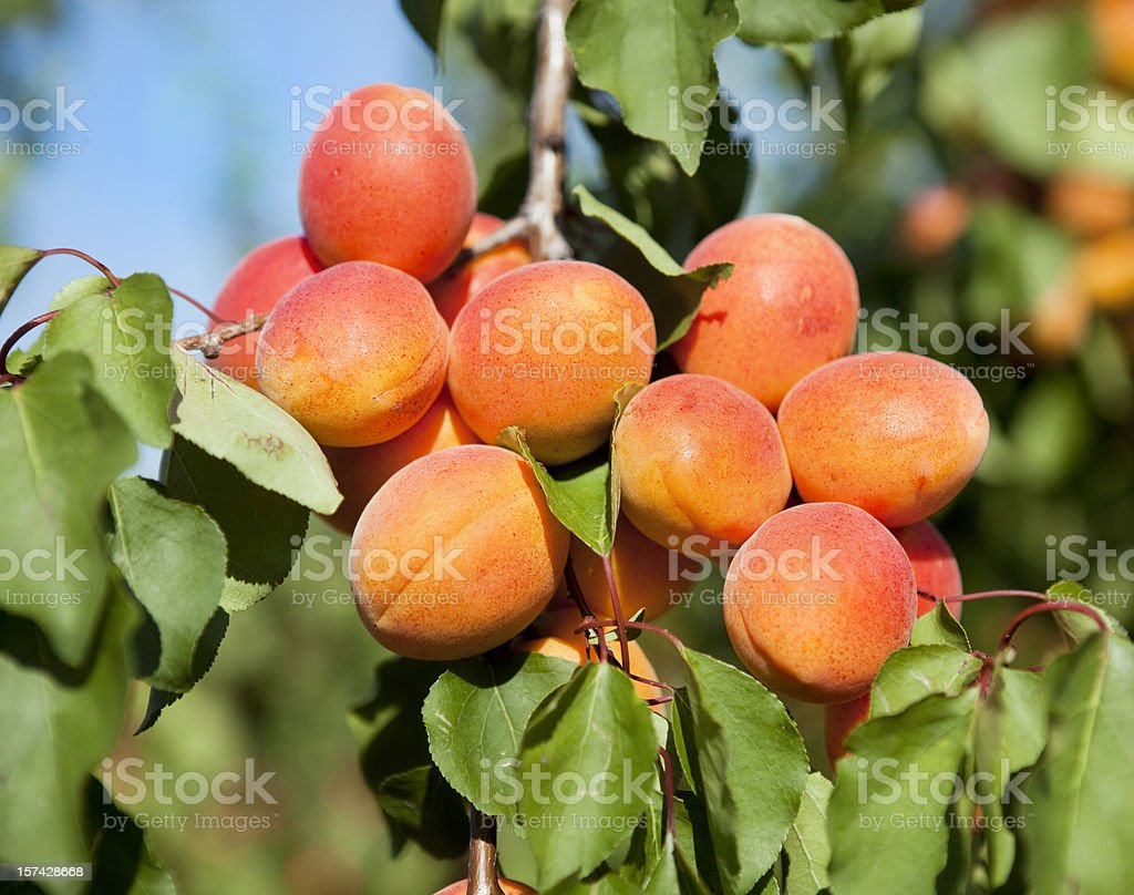 Apricots on Tree in Provence stock photo