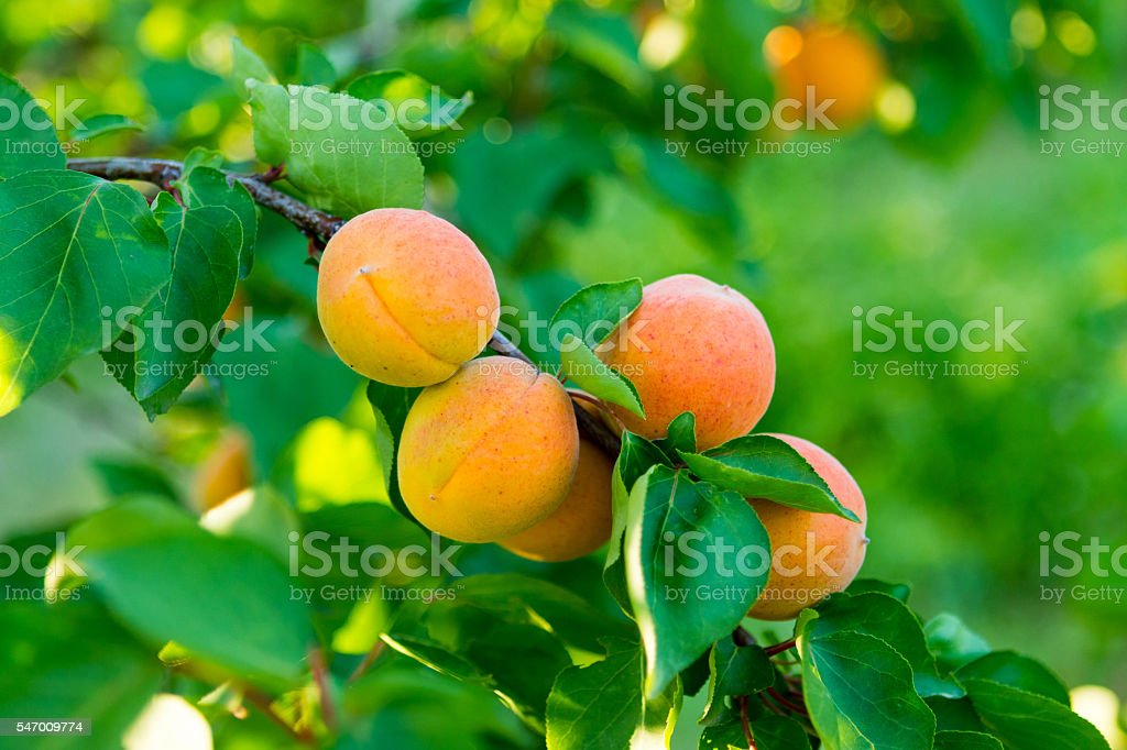 Apricots on Tree stock photo