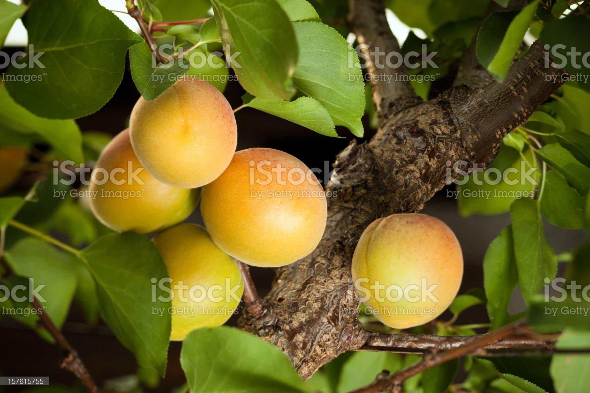 Apricots ripen on a tree royalty-free stock photo