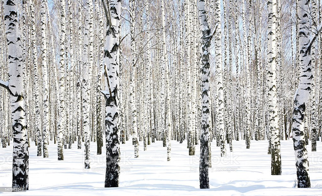 April Birch Grove royalty-free stock photo