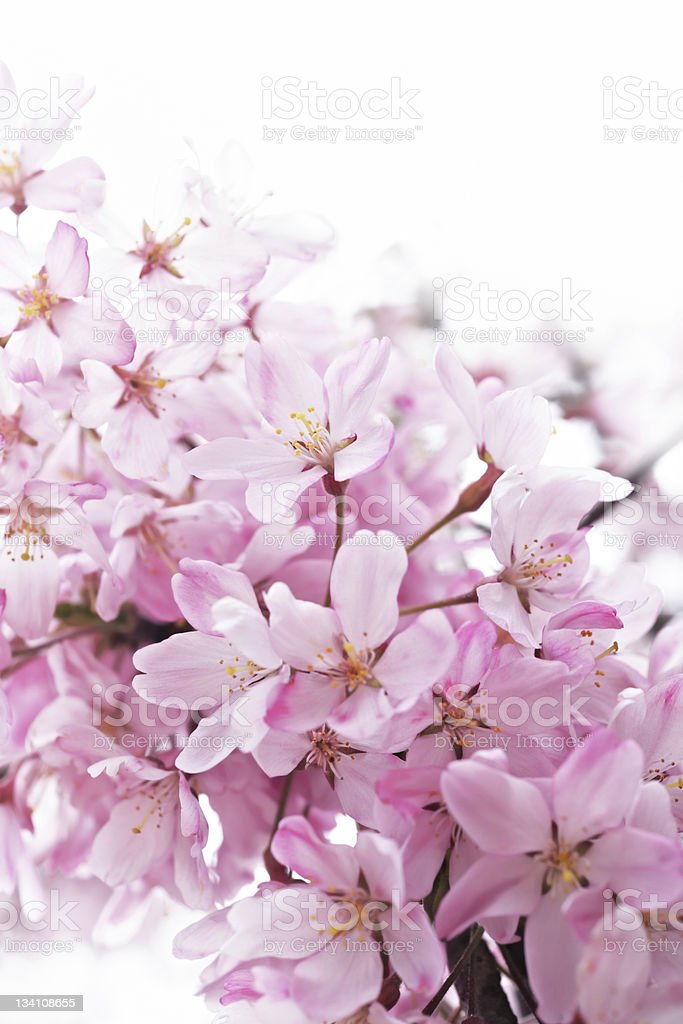 April blossoming royalty-free stock photo