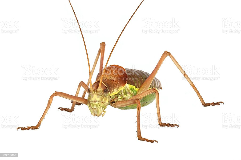 Apterous Grasshopper royalty-free stock photo