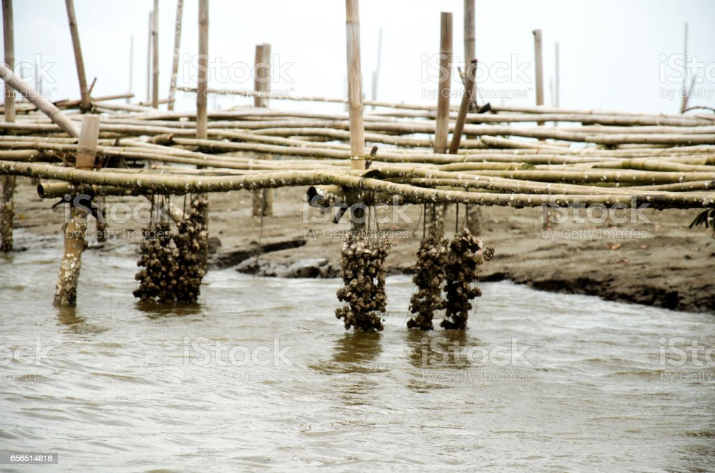 Aquaculture of shellfish Oyster farm in the sea stock photo