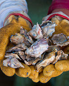 aquaculture oysters harvest