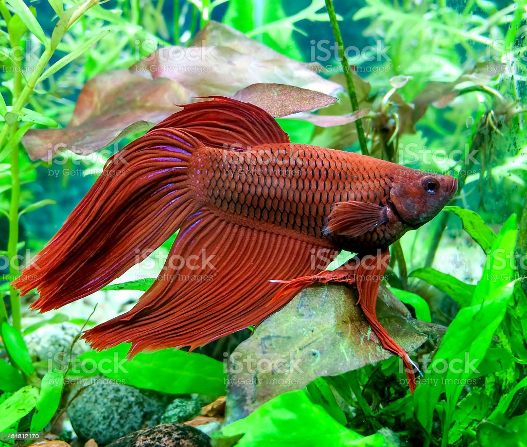 Aquarium Betta Splendens Mail stock photo