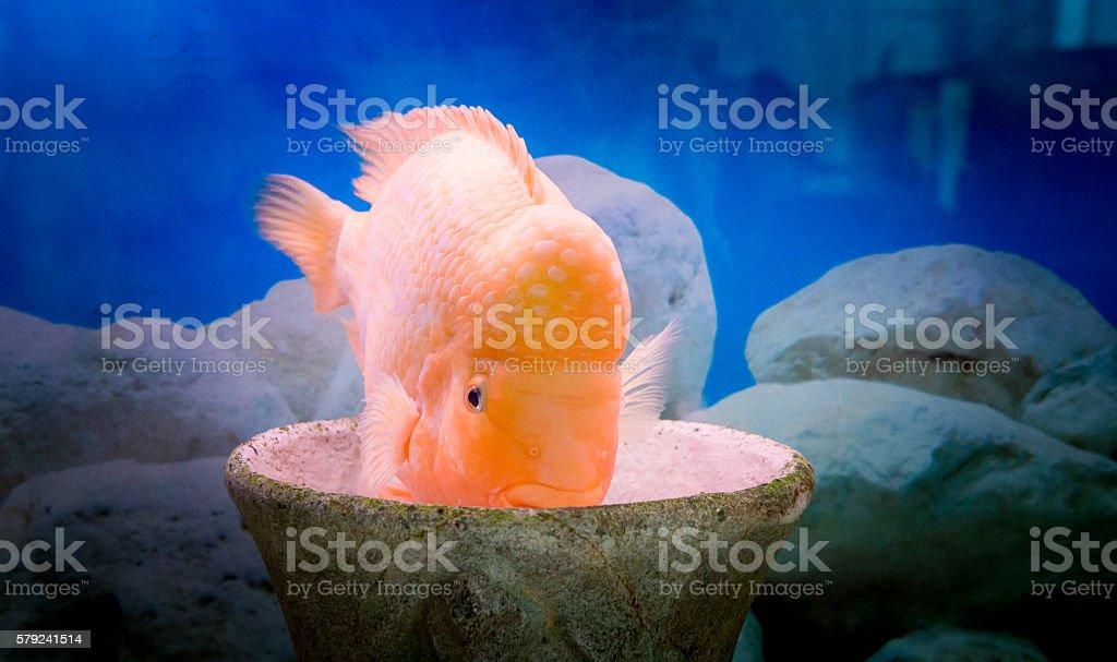 Aquarium fish cichlasoma citron stock photo
