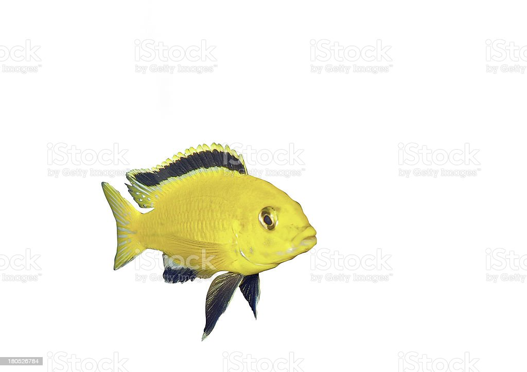 Aquarium Fish- Cichlid Hummingbird Yellow. royalty-free stock photo