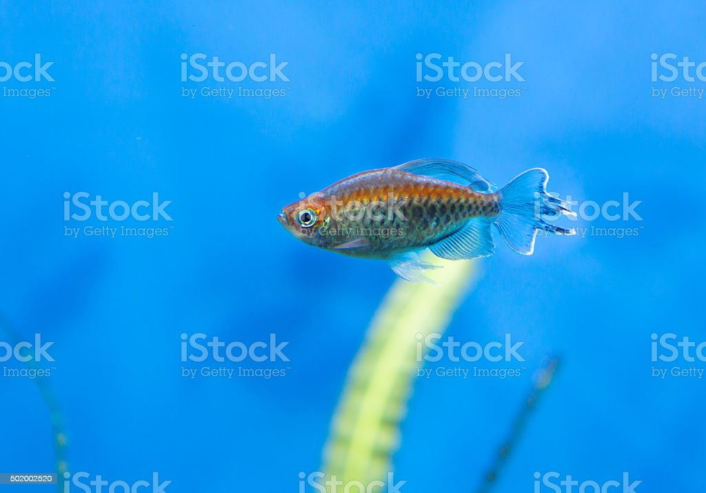 Aquarium fish Congo. stock photo