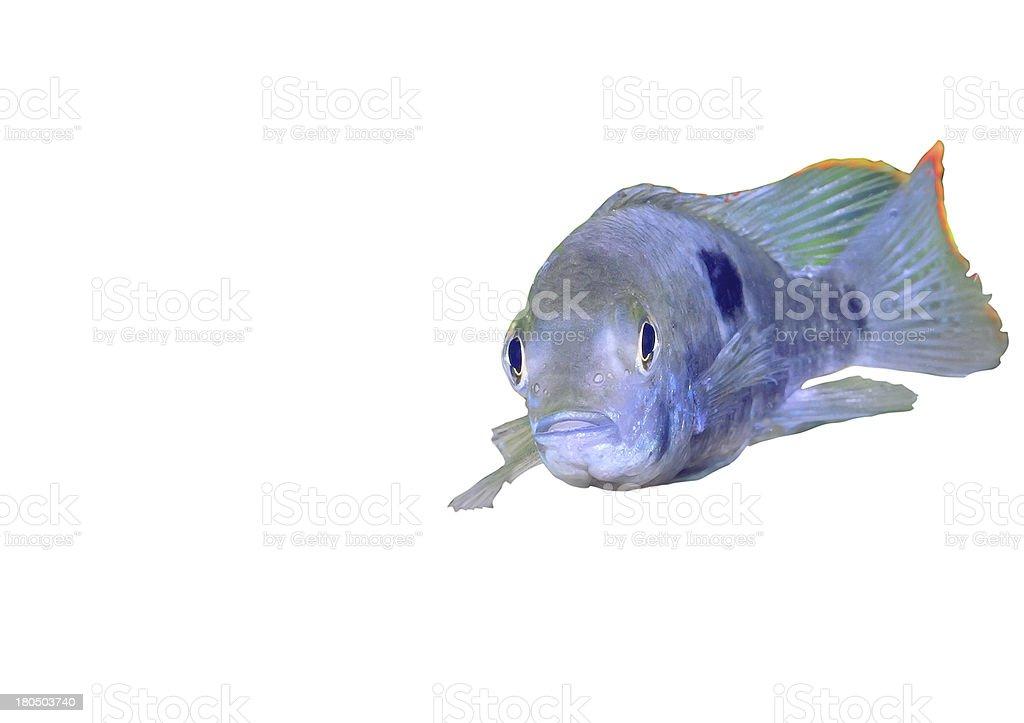 Aquarium Fish dwarf Cichlid-Apistogramma nijsseni. royalty-free stock photo