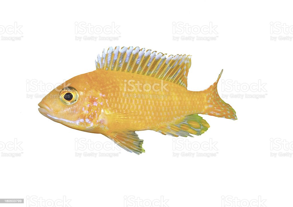 Aquarium Fish dwarf Cichlid-Aulonocara. royalty-free stock photo