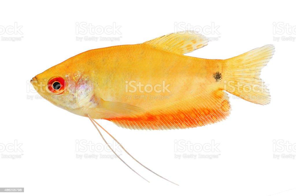 Aquarium Fish Golden gourami Trichogaster trichopterus stock photo