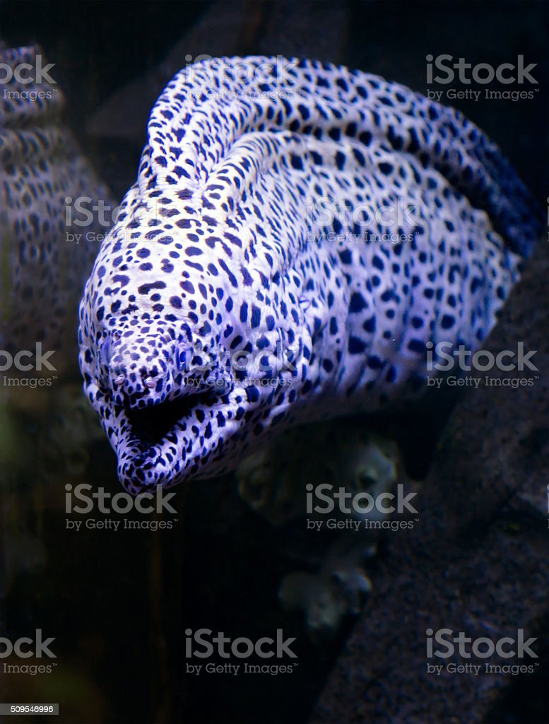 Aquarium fish, leopard Moray eel. stock photo