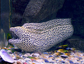 Aquarium fish, leopard Moray eel