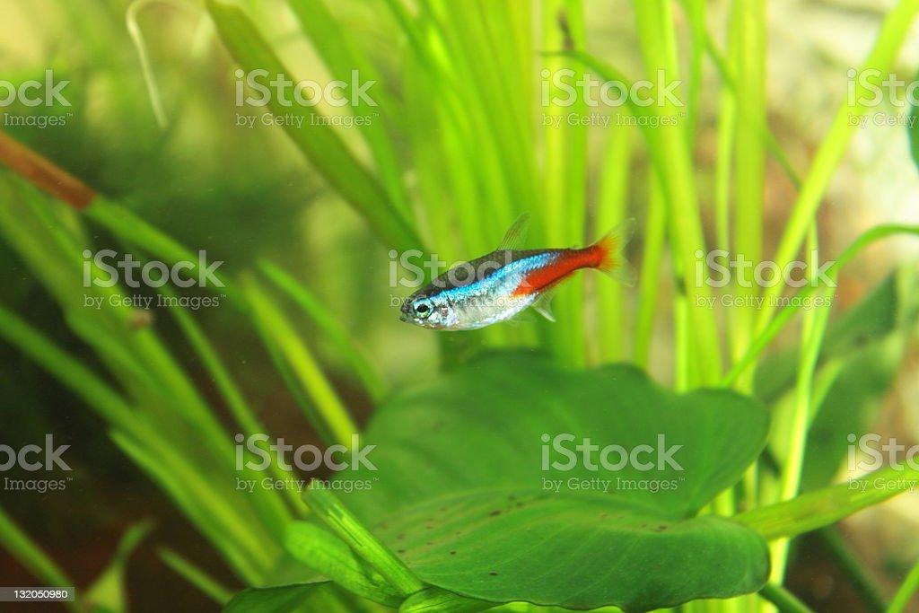 aquarium fish - neon royalty-free stock photo