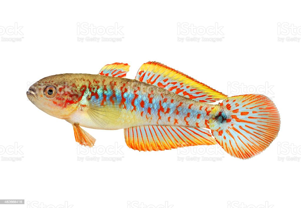 Aquarium fish Peacock Gudgeon Tateurndina ocellicauda freshwater stock photo