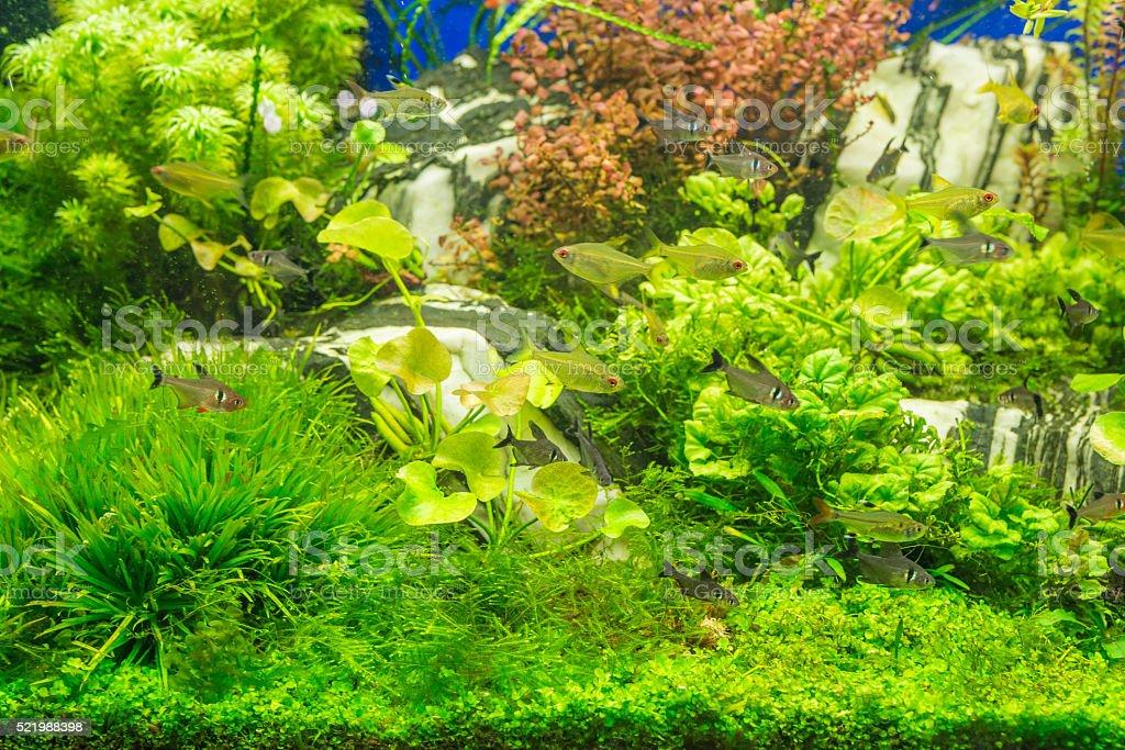Aquarium fish tank with many plants and fish stock photo