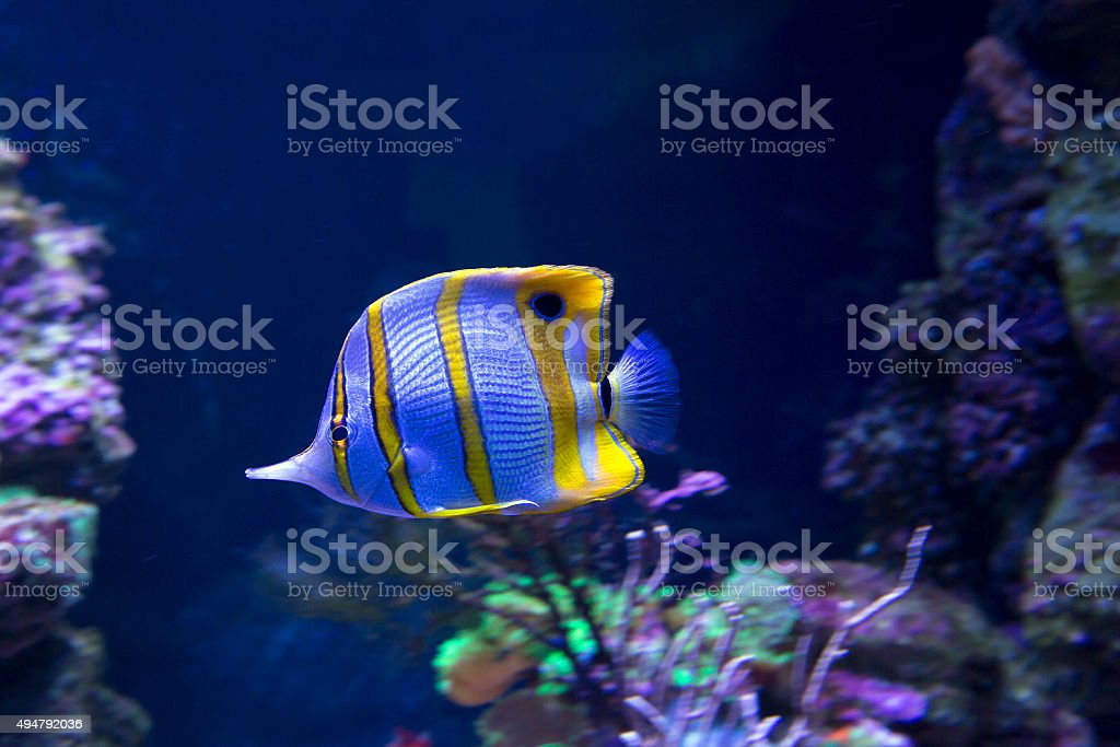 Aquarium fish-butterfly stock photo