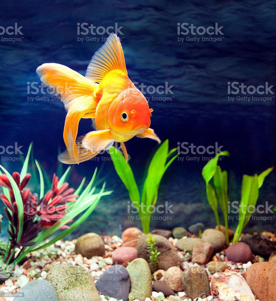 Aquarium Native Gold Fish stock photo