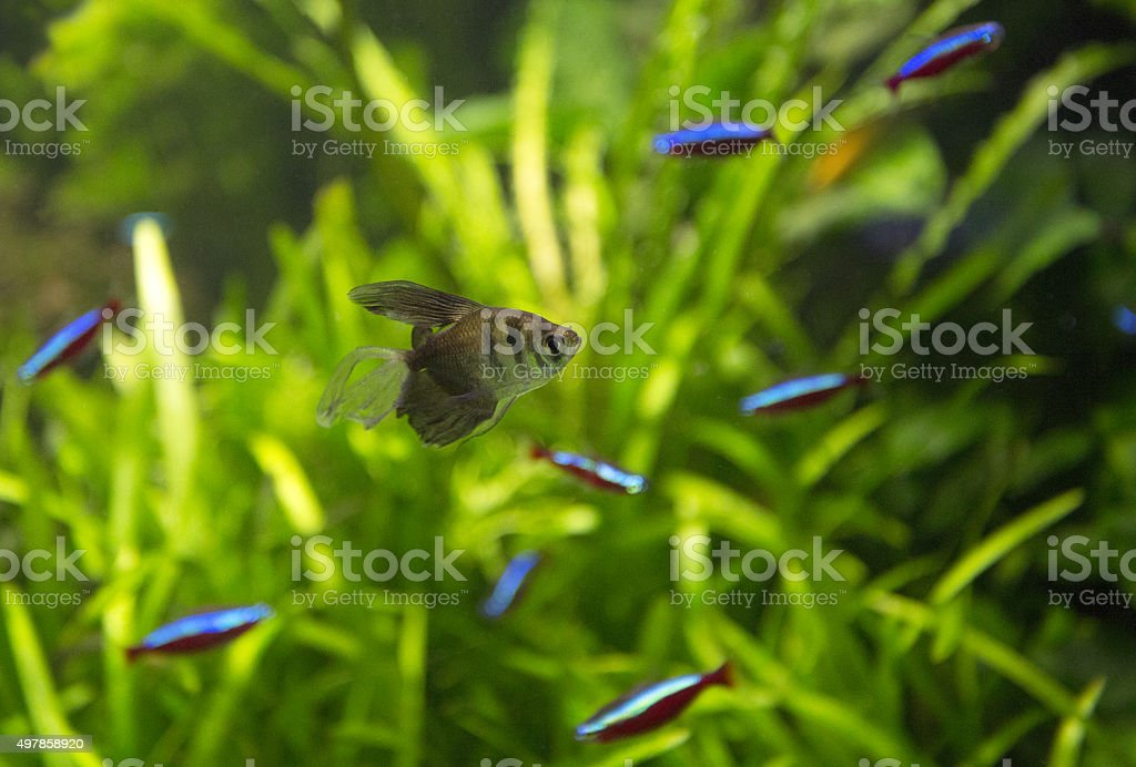 Aquarium small fish stock photo