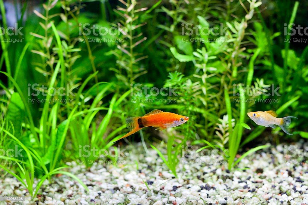 Aquarium Swordtail and Molly stock photo