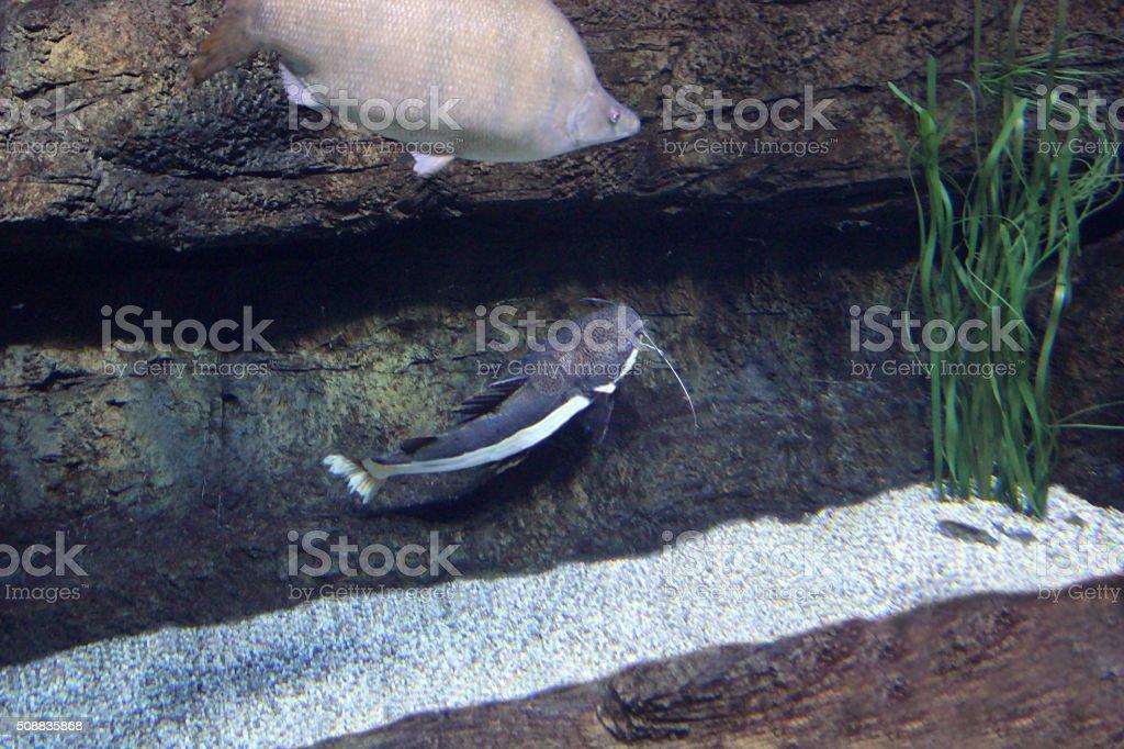 Aquarium wels catfish stock photo