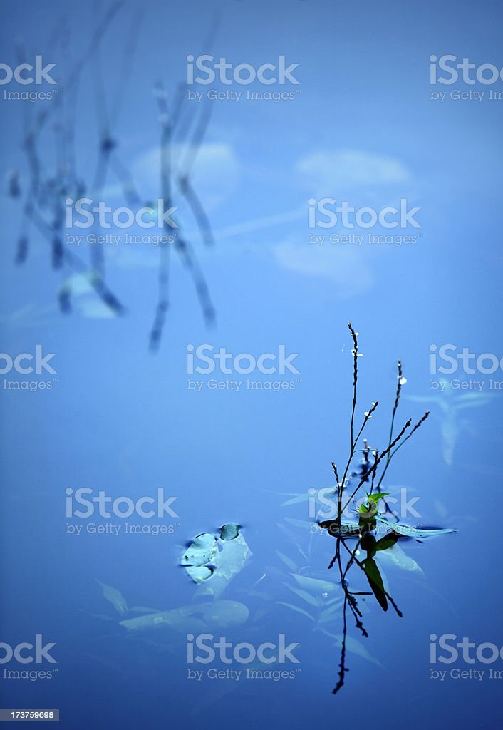aquatic plant in a pond royalty-free stock photo