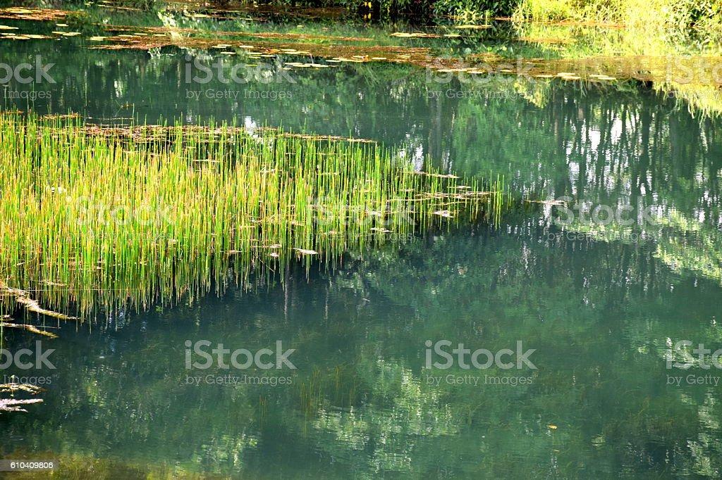 Aquatic plant in the river. stock photo