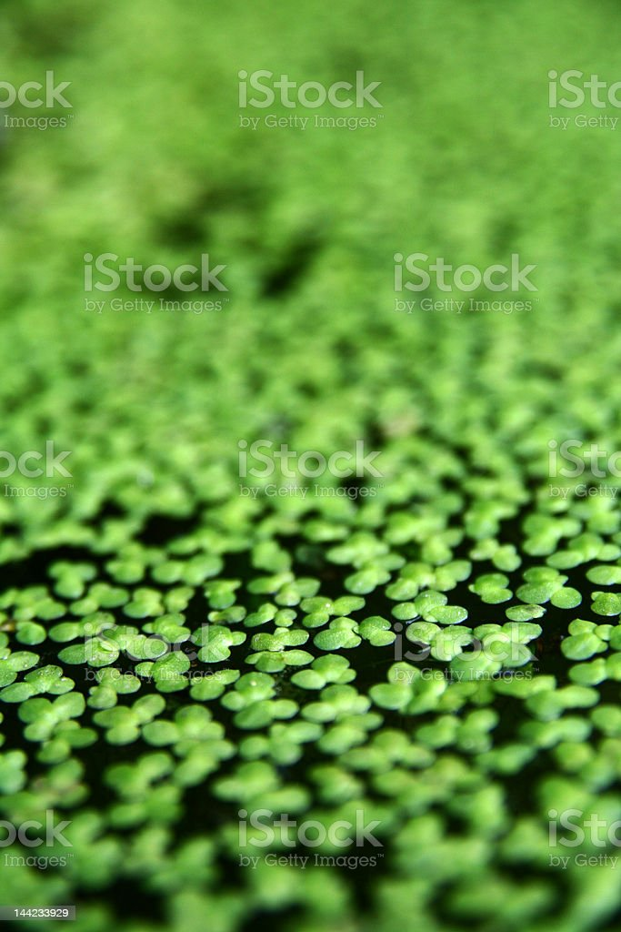 aquatic plant royalty-free stock photo